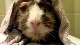 getlinkyoutube.com-Pet Interviews - Guinea Pig