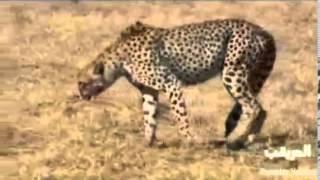 getlinkyoutube.com-خنزير شجاع يقاتل فهد boar brave fighting cheetah