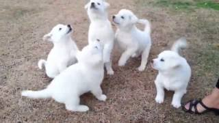 풍산개 강아지들