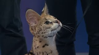 getlinkyoutube.com-Jumping Serval Cat: Earth Ranger Meghan and Sammy visit Daily Planet