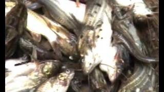 getlinkyoutube.com-FISHING. FRESHEST FISH OF BANGLADESH.