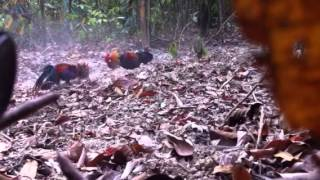 getlinkyoutube.com-Red jungle fowl