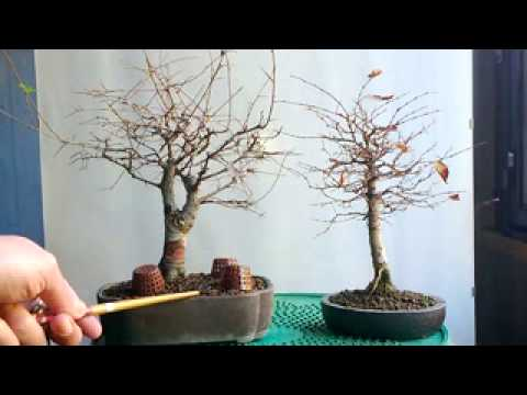 BONSAI-DIFFERENZA TRA OLMO E ZELKOVA