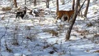 getlinkyoutube.com-Tiger & goat spark up unlikely friendship in Russia zoo