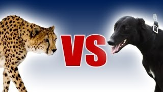 getlinkyoutube.com-Cheetah vs Greyhound - World's Fastest Dog In Super Slow Motion - Slo Mo #29 - Earth Unplugged