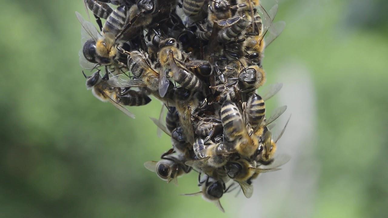 Ponašanje pčela u roju