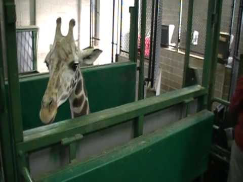 Thumbnail image for 'Clicker Training Reticulated Giraffes at Niabi Zoo'