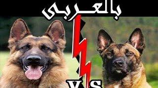 مقارنة سريعة بين الجيرمن شيبرد و المالينواه GERMAN SHEPHERD VS MALINOIS !!