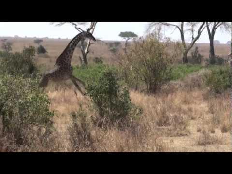 Rapaces 2010. Leon cazando jirafas.