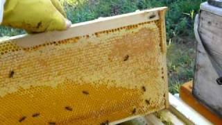 getlinkyoutube.com-Folosirea izgonitorului inainte de extragerea mierii