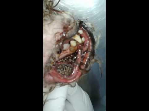 Bicheira(miíase) horrível em boca de cão