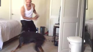 getlinkyoutube.com-Doberman aggressive play