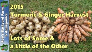 getlinkyoutube.com-First Turmeric & Ginger Harvest of 2015,  Lots of some & a little of the other.
