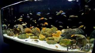 getlinkyoutube.com-African Cichlids Aquarium - Lake Malawi