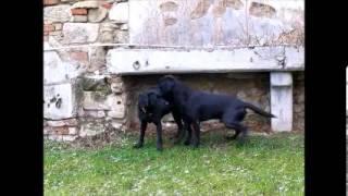 getlinkyoutube.com-Labrador Retriever Fanworts Bill *Robin* und Roume vom Kastell Stegraifepach *Muffin*