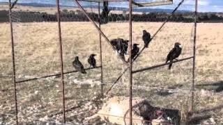 getlinkyoutube.com-Crow Trap (CAUGHT CROWS)