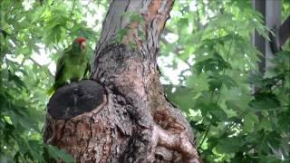 Parrots Of California