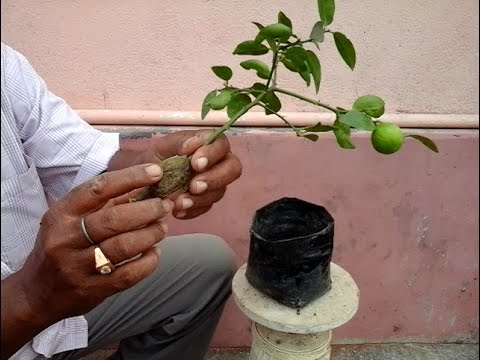 Lemon tree bonsai from air layering