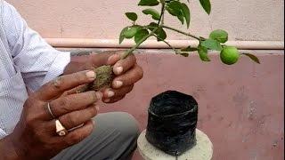 getlinkyoutube.com-Lemon tree bonsai from air layering