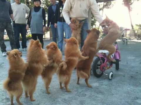 Dogs Ride Bicycle, Form Congo Line