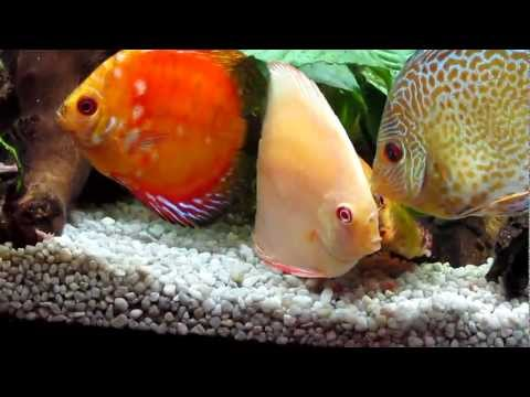 Peces Disco Comiendo Papilla. Discus Fish Eating