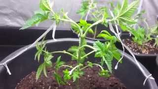 getlinkyoutube.com-AMVgrow's Low Stress Training Cannabis 123 compilation how i LST