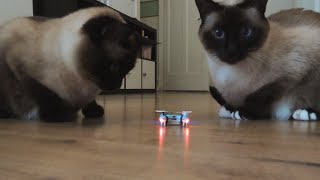 getlinkyoutube.com-Cheerson cx 10 tested by siamese/birman mix cats