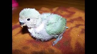 getlinkyoutube.com-Growth Progression of a Lovebird Baby