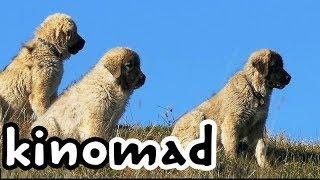 getlinkyoutube.com-Wolf Killer Shepherd Dogs - Волкодав, реальный
