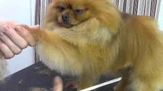 getlinkyoutube.com-Pet Grooming for a Pomeranian starring Baa Baa