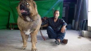 getlinkyoutube.com-الكلب القوقازي سيمبا يزداد اكثر من 12 كغم كل شهر ونصف عمر 9 شهور مع جمال العمواسي