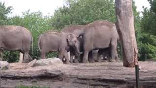Diergaarde Blijdorp - the day after, 16e elephant was born (5)