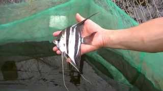 getlinkyoutube.com-Fishing Pterophyllum altum in Atabapo