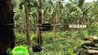 getlinkyoutube.com-Large scale banana cultivation undertaken by a young farmer in a large leased lands.