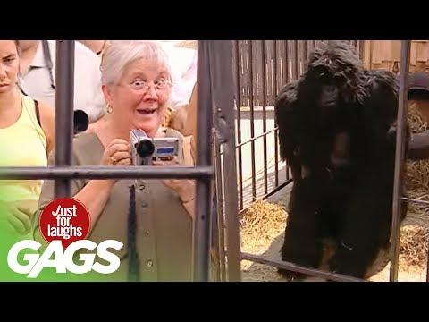 Odbegla gorila