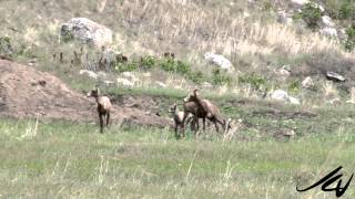 Bighorn Sheep - Grand Forks BC - YouTube