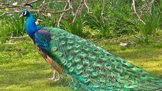 getlinkyoutube.com-Indian Blue Peacock in All its Glory - मोर