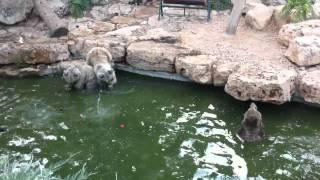 """getlinkyoutube.com-האכלת דובים בגן חיות התנכ""""י - ירושלים"""