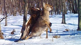 getlinkyoutube.com-GOLDEN EAGLE ATTACKS AND CATCHES DEER