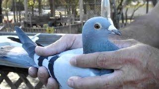 getlinkyoutube.com-America's Most Important Pigeon Race - Documentary Film