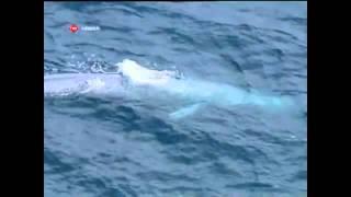 getlinkyoutube.com-Mavi Balina Avustralya Sahilerinde Görüntülendi