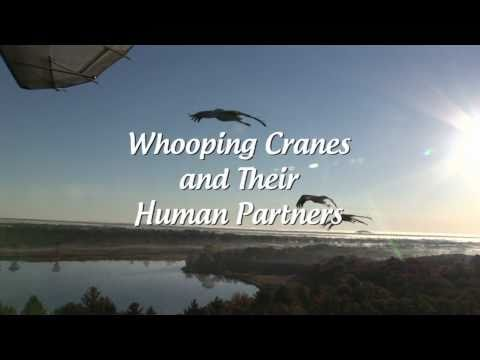 Saving the Ghost Birds - Whooping Cranes and Their Human Partners - Trailer