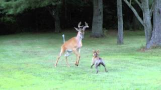 getlinkyoutube.com-Bosco versus deer