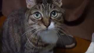 getlinkyoutube.com-猫の みっちゃん を 新規導入の Lumix GX7 で撮ってみた。