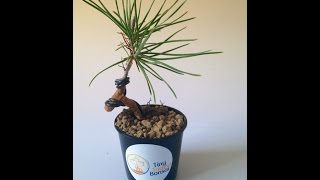 getlinkyoutube.com-How to: Repot and Wire Young Japanese Black Pine Bonsai