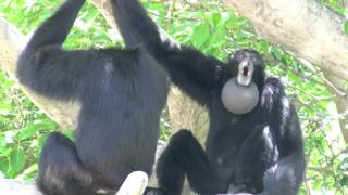 getlinkyoutube.com-Siamang Gibbons howling at Miami Metrozoo