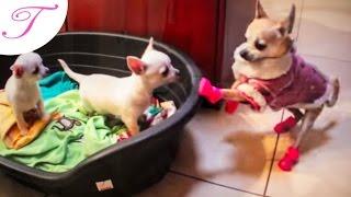 getlinkyoutube.com-Trixi meets her baby chihuahua brothers