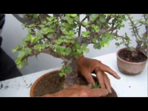 Videos youtube plantas para atraer el dinero - Plantas para atraer el dinero ...