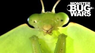 getlinkyoutube.com-Brazilian Wandering Spider vs  Hooded Mantis | MONSTER BUG WARS