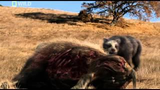 getlinkyoutube.com-prehistoric predators giant bear